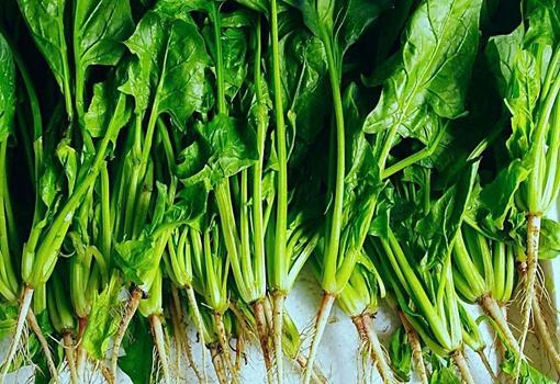 我国菠菜出现滞销情况 商贩收购价最高三毛一斤