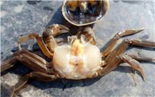 河蟹常见的三种疾病及防治方法