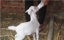 导致羔羊腹泻的原因及防治方法