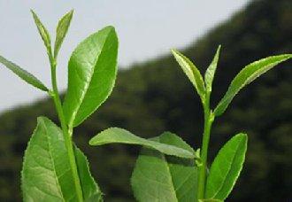 重庆永川将进行多举措打造茶产业强区 带动茶产业发展