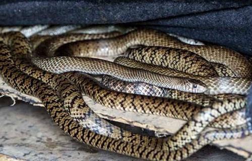 特种养殖效益好,养蛇让她走上了发家致富路