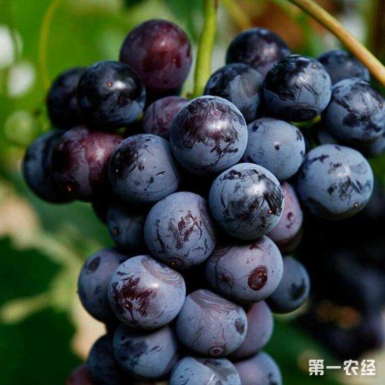 葡萄为什么会出现大小粒?要怎么预防?