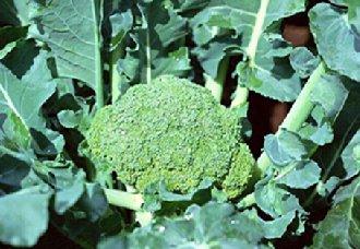 我国将加快西兰花品种国产化进程 推进西兰花产业发展