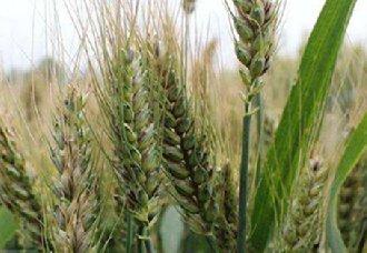 <b>俄罗斯2018年前11月份小麦出口量近4100万吨</b>