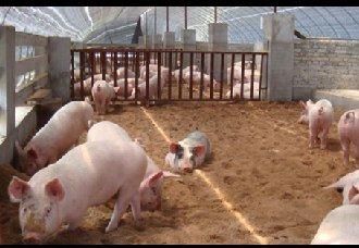<b>小猪现价150元/头,是现在补栏还是等4月份再补?</b>