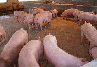 哪些中草药适合养猪呢?又有什么好处?