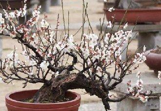 盆栽梅花要怎么修剪?盆栽梅花的修剪技术