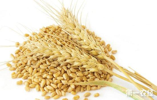 小麦市场趋弱运行一个月了,节前麦价能否重启涨势?