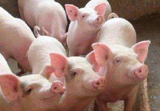 <b>春节前猪价:供给充足,消费难以提振</b>