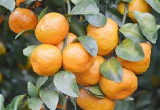 广东佛冈将恢复砂糖橘产业发展 种植面积达5000亩以上
