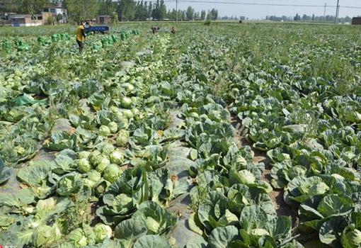 浙江象山金牛港村菜农获县委干部帮助 让滞销蔬菜找到买家