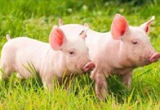 <b>非洲猪瘟下的猪市:中端震荡、终端淡定、品质突围</b>