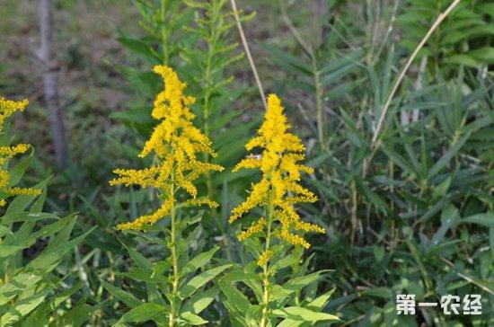 一枝黄花常见的病虫害以及防治措施