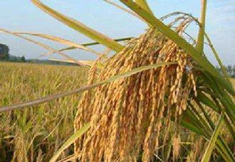 <b>广西进一步优化农业保险产品政策 水稻保险费率下调至3.33%</b>