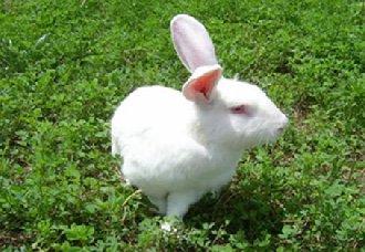 獭兔一斤多少钱?