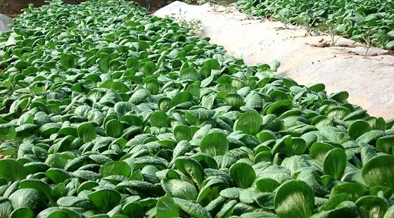 福建福州将会实施蔬菜种植天气指数保险 降低蔬菜损失
