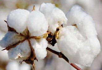 <b>巴基斯坦为有利支持纺织工业 将允许棉花免税进口</b>