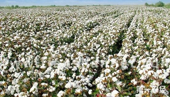 年底棉价上涨,实际成交由弱转稳,这行情能持续多久?