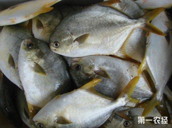 2018年金鲳鱼最高价达15.5元,2019年养殖户会增加养殖量吗