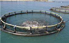 用大蒜防治鱼病的配方 成本低无药害