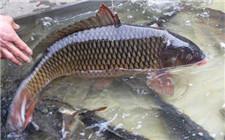 鲤鱼姿态异常可能由哪些疾病引发?