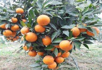 广西南宁武鸣沃柑种植面积达30万亩以上