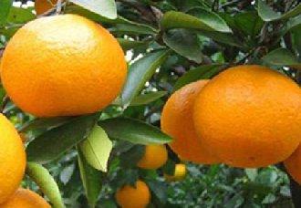 <b>中国进口埃及柑橘的出口量比去年增长20%</b>
