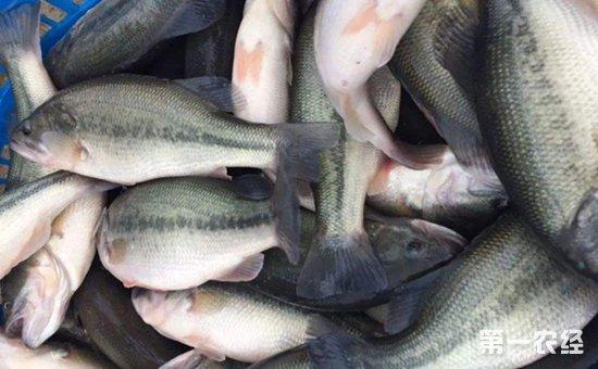2019年1月24日国内各地加州鲈鱼塘头价格