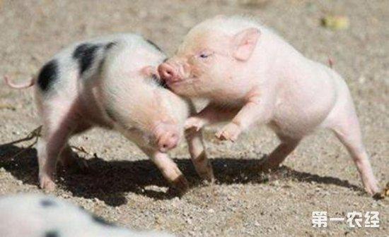 仔猪假死要怎么救治?假死仔猪的急救办法
