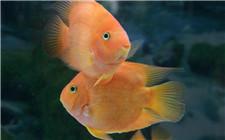 观赏鱼养殖技巧:观赏鱼浮头等异常行为的解决方法