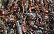 怎么减少小龙虾的生病率?这几项措施你做到了吗