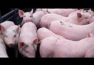 母猪分娩后不吃食的原因以及解决办法