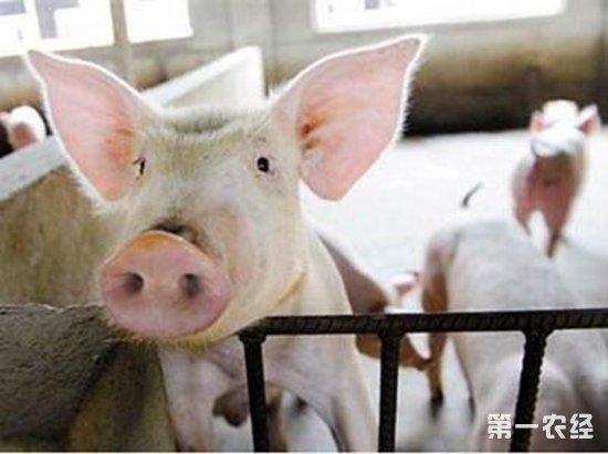 猪打架的原因以及处理方法
