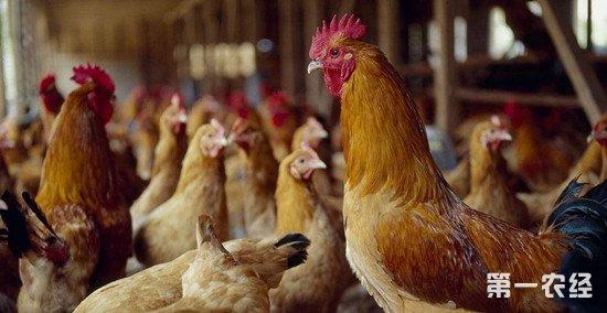 为什么秋冬季节鸡群容易发生呼吸道疾病?如何防控?