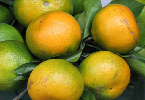 湖南保靖柑橘滞销得到爱心人士帮助 目前滞销情况已缓解