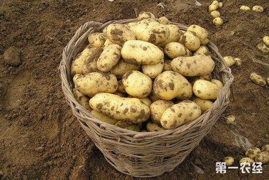 马铃薯价格行情较为稳定,部分产区出现小幅上涨