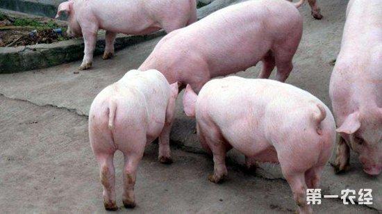 猪气喘病的症状以及治疗方法