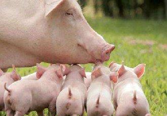 <b>母猪产后掉膘的原因以及解决办法</b>