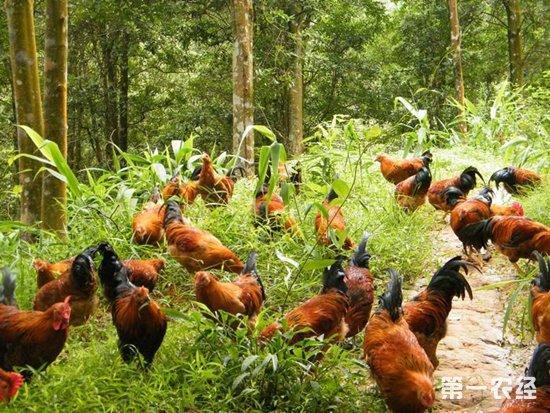 樱桃林下养鸡,双份收入日子越过越好
