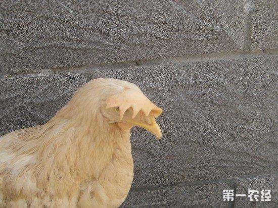 鸡冠发白是什么病?鸡白冠病的治疗方法