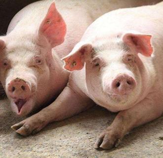 母猪分娩时要注意什么?母猪分娩的注意事项