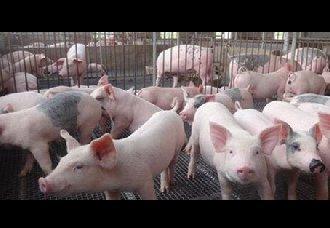 养猪场潮湿要怎么办?猪舍潮湿的解决办法