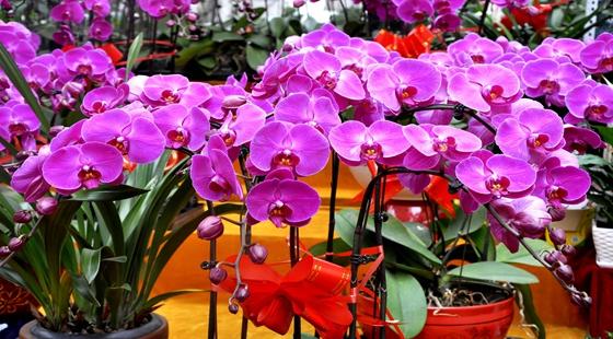 春节脚步已临近 山东潍坊花卉市场销售日渐升温