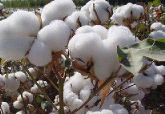 5个棉花新品种选育成功