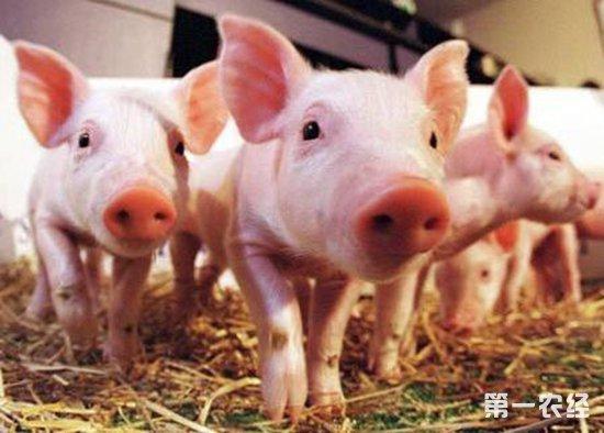 2019年下半年猪价或将有可能突破10元/斤