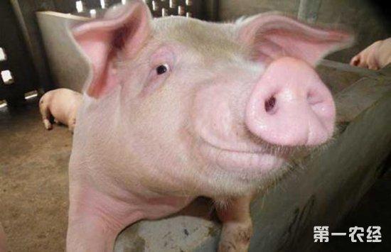 光照不足,母猪发情时间可能会相差5-6天