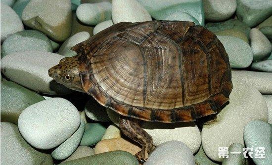夏季怎么养好乌龟?夏季养殖乌龟的注意事项