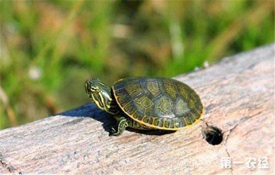 养殖乌龟时需要注意预防哪些疾病?