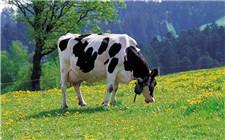 奶牛产仔后多久可以挤奶?为什么不宜马上挤奶