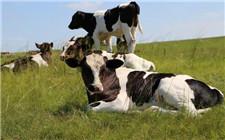 奶牛选种注意事项 奶牛的选种标准